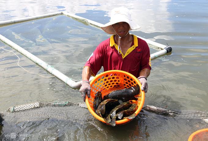 Hơn 1.000 tấn cá mú tồn trong ao nuôi ở Cam Ranh - Ảnh 2.