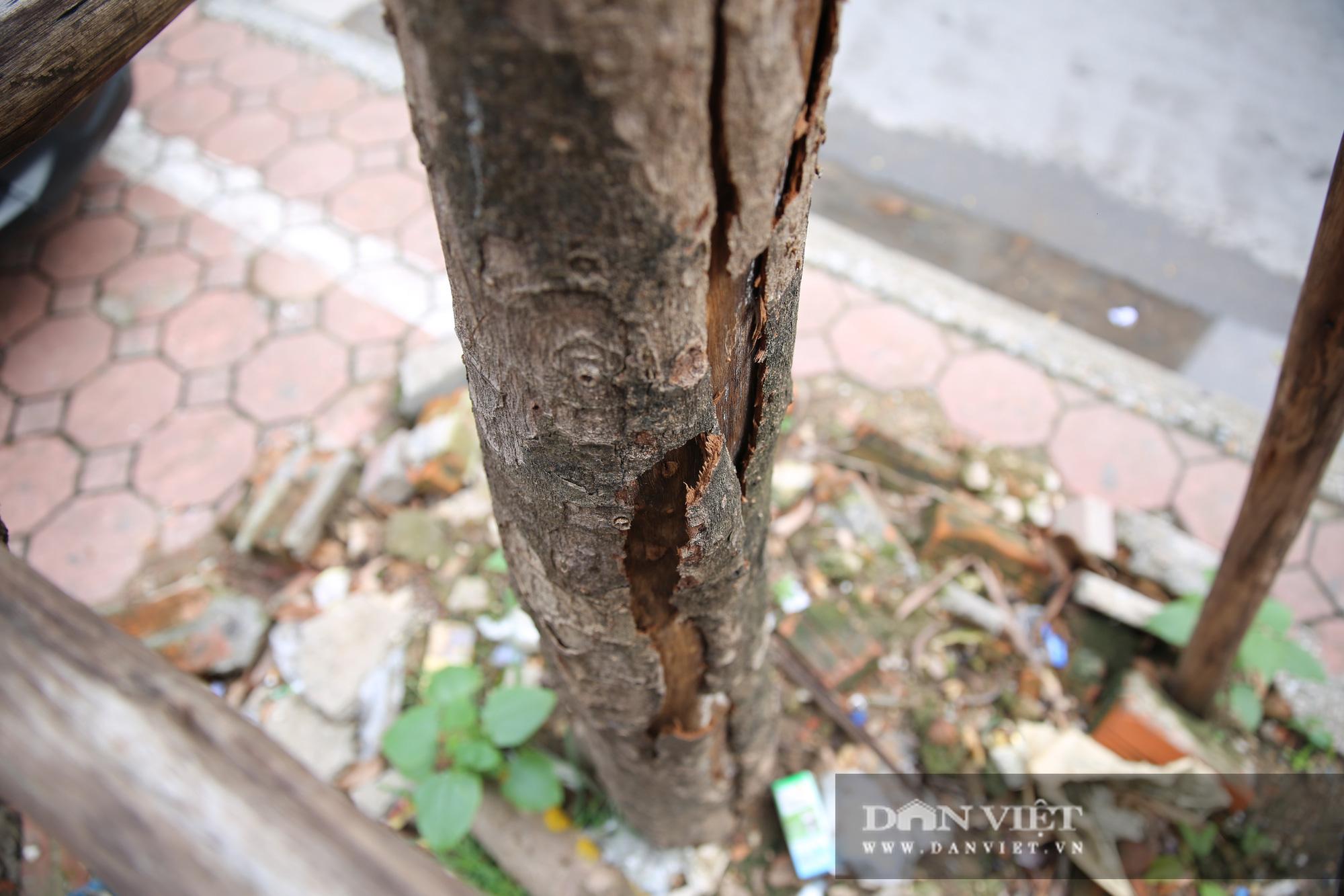 Hà Nội: Nhiều cây xanh trồng mới có dấu hiệu chết khô  - Ảnh 12.