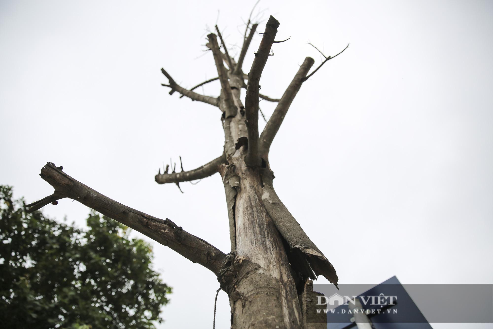 Hà Nội: Nhiều cây xanh trồng mới có dấu hiệu chết khô  - Ảnh 2.