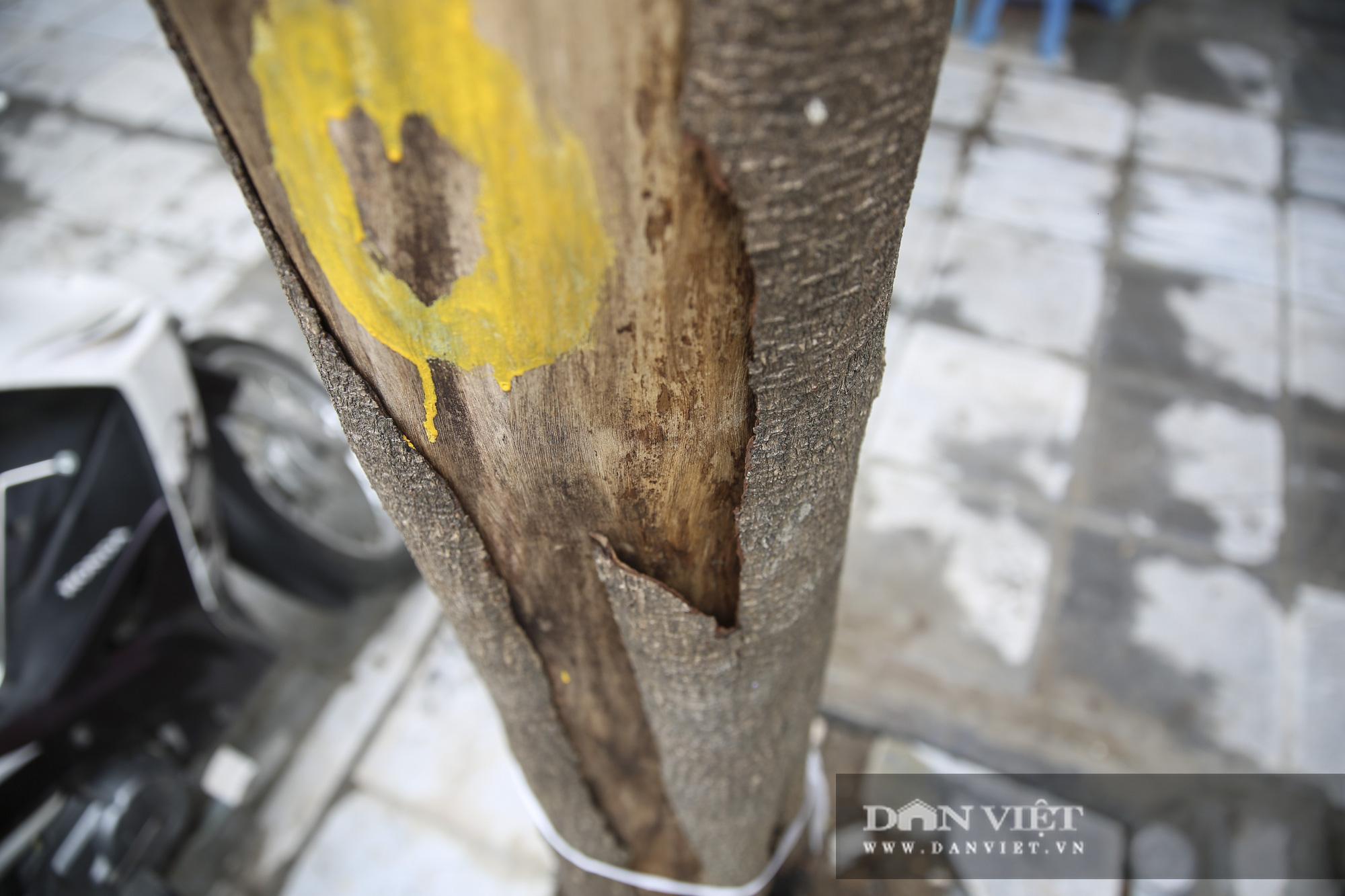 Hà Nội: Nhiều cây xanh trồng mới có dấu hiệu chết khô  - Ảnh 5.