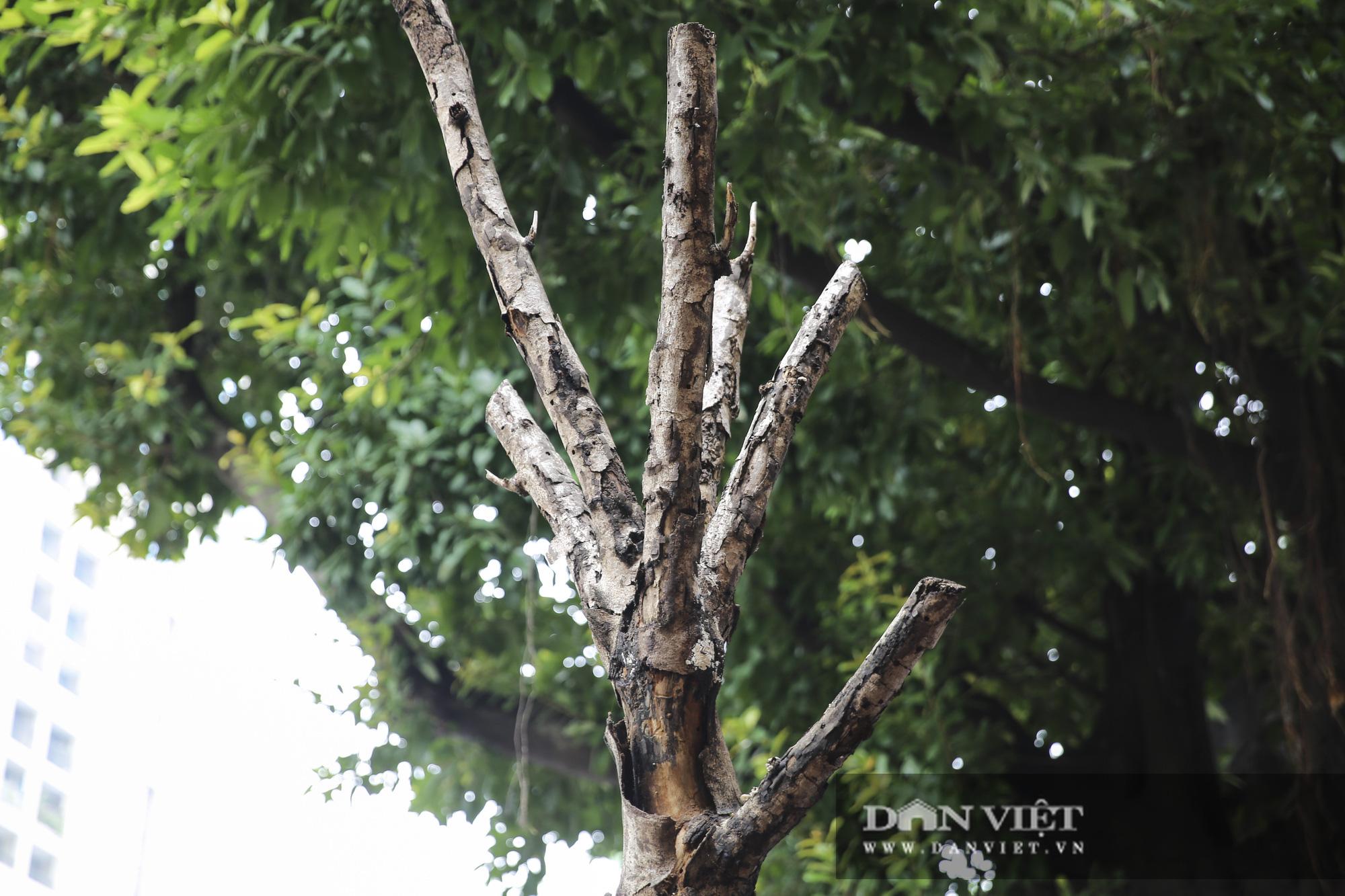 Hà Nội: Nhiều cây xanh trồng mới có dấu hiệu chết khô  - Ảnh 9.