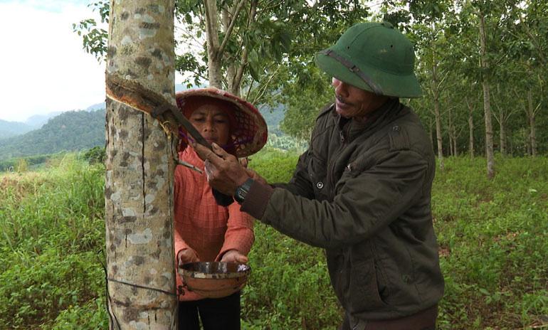 Phú Yên: Giá mủ cao su không ngừng tăng cao, nông dân phấn chấn, đến người đi cạo mủ cũng kiếm dăm trăm ngàn/ngày - Ảnh 1.