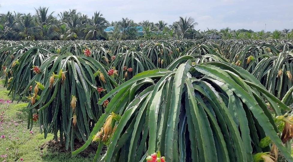 Bí quyết bón phân Ure hiệu quả cho cây thanh long xuất khẩu - Ảnh 2.