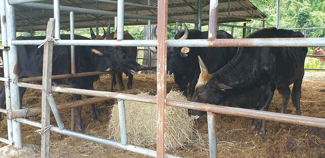 Đàn bò tót trơ xương ở Ninh Thuận: Chuyên gia bảo vệ động vật hoang dã bày tỏ sự phẫn nộ - Ảnh 1.