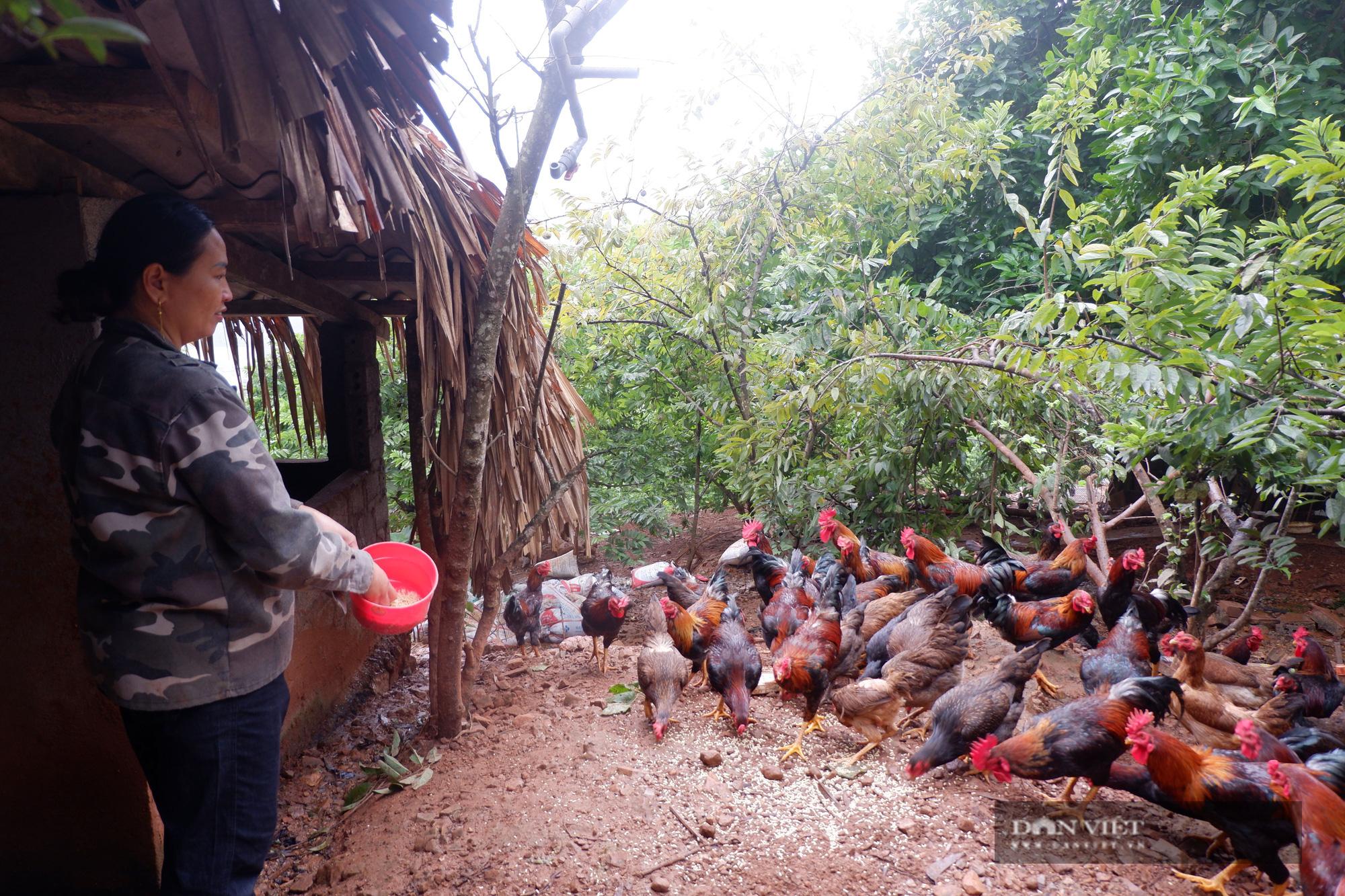 Hà Giang: Trên trồng thứ na đặc sản, dưới nuôi gà chạy bộ đầy vườn, dân ở đây thu hàng trăm triệu/năm không hiếm - Ảnh 5.