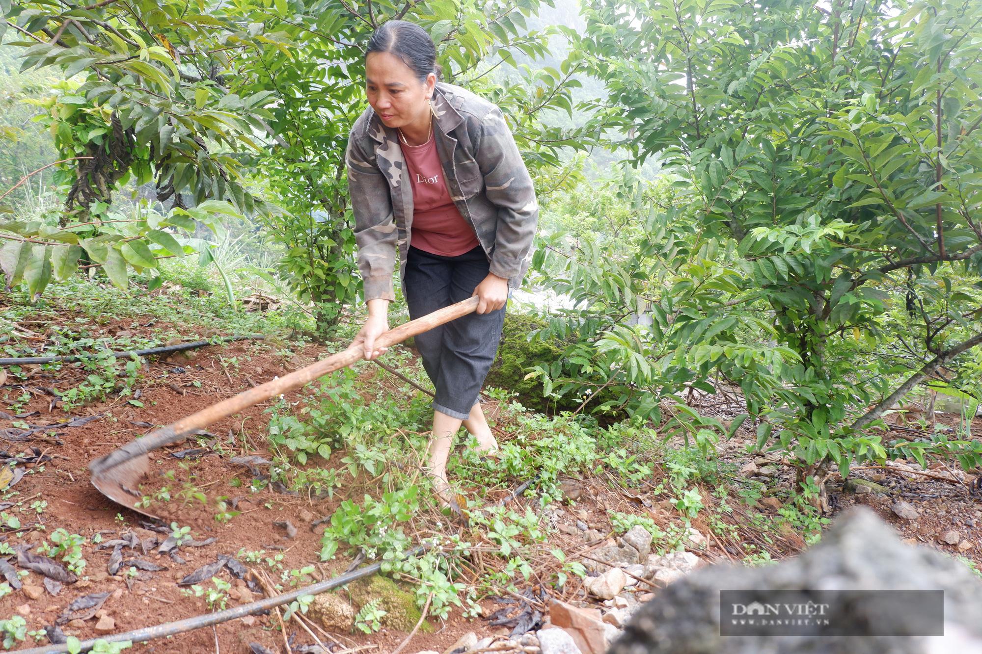 Hà Giang: Trên trồng thứ na đặc sản, dưới nuôi gà chạy bộ đầy vườn, dân ở đây thu hàng trăm triệu/năm không hiếm - Ảnh 6.