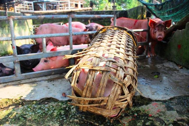 """Huy động 150 tỷ đồng, chính quyền Bình Định giúp nông dân nuôi heo """"vượt"""" khó - Ảnh 1."""