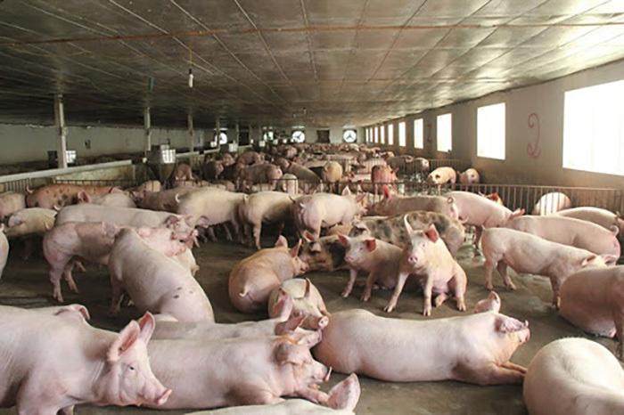 Giá lợn hơi lao dốc, chợ giảm nhỏ giọt, dân buôn kêu ế dài - Ảnh 1.