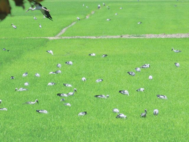 Đồng Tháp: Yêu cầu khẩn cấp không được chọc phá hàng ngàn con chim quý hiếm đang lội trên đồng - Ảnh 1.
