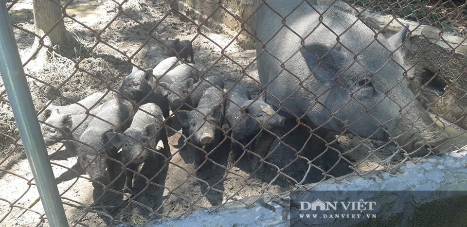 Hòa Bình: Liên kết nuôi lợn bản địa để cùng nhau xóa nghèo, làm giàu - Ảnh 2.
