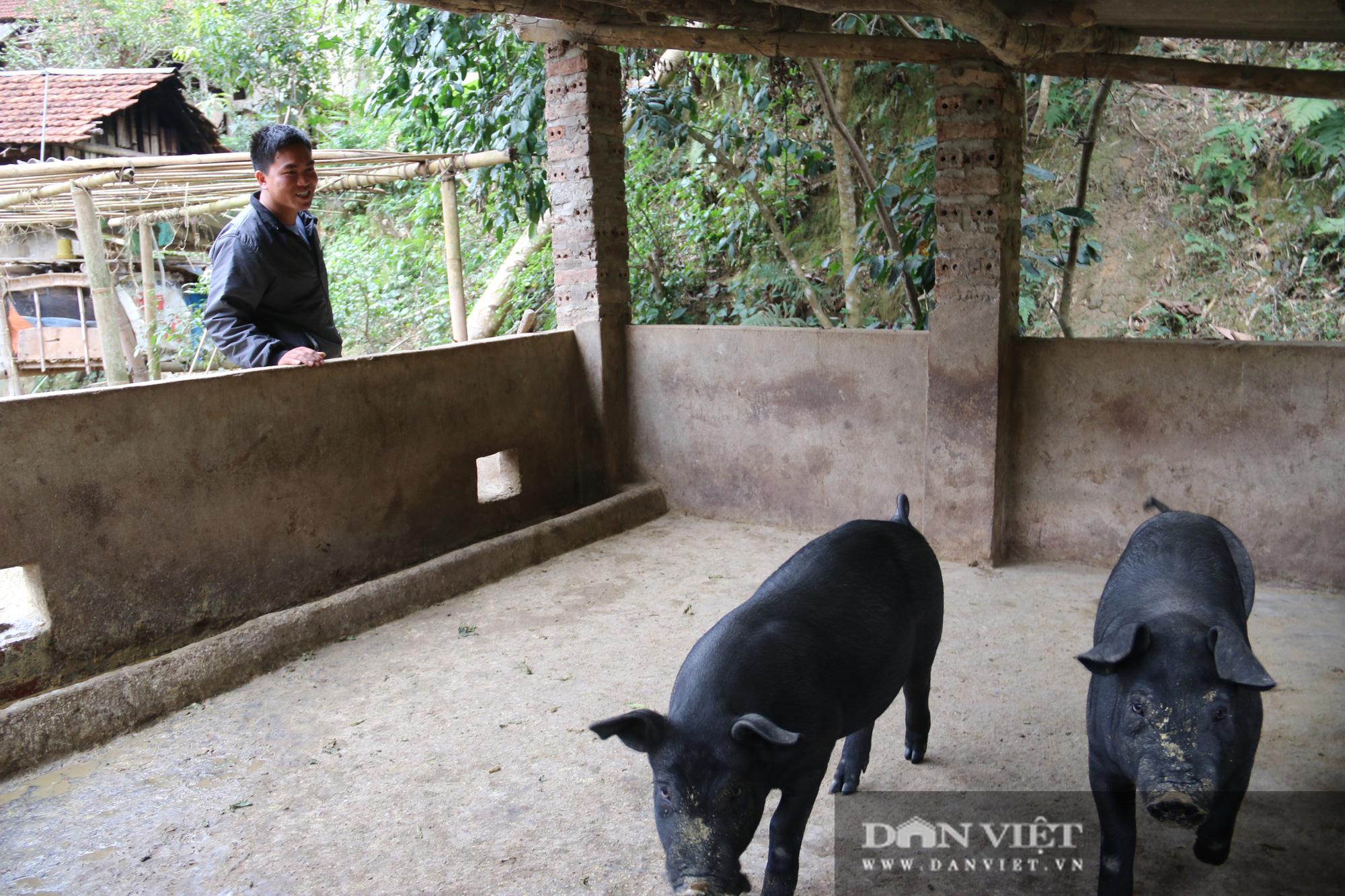 Hòa Bình: Liên kết nuôi lợn bản địa để cùng nhau xóa nghèo, làm giàu - Ảnh 4.