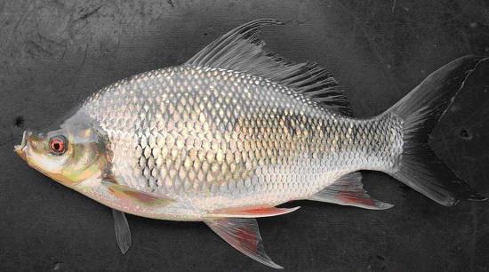 Mè hôi là loài cá đặc sản gì mà tỉnh An Giang đang đang nuôi trình diễn trong ao đất để nông dân đến xem? - Ảnh 1.