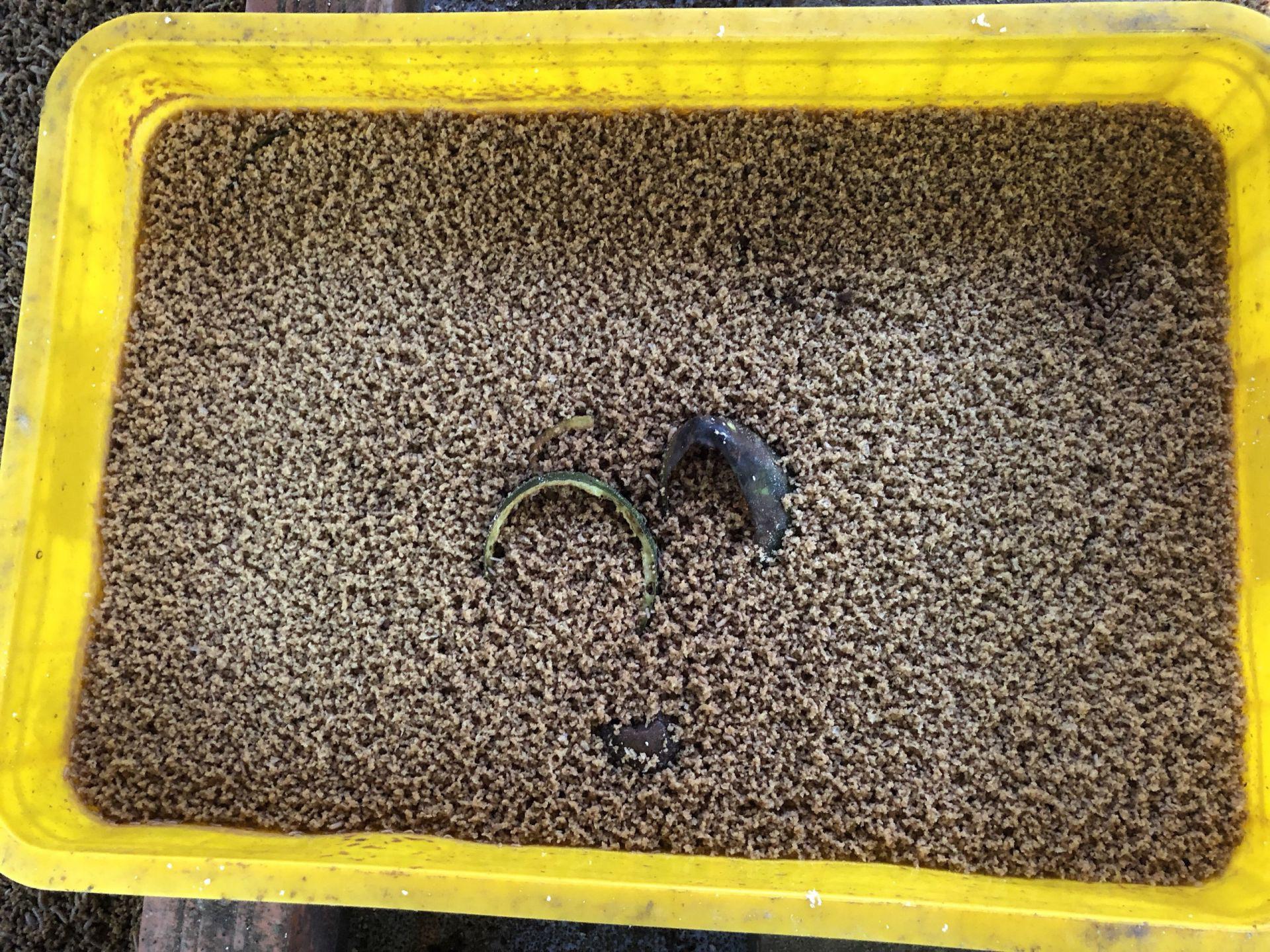 Tây Ninh: Nuôi loài ruồi này rồi lấy trứng đem bán giá 3 triệu đồng/100 gram trứng ruồi - Ảnh 1.