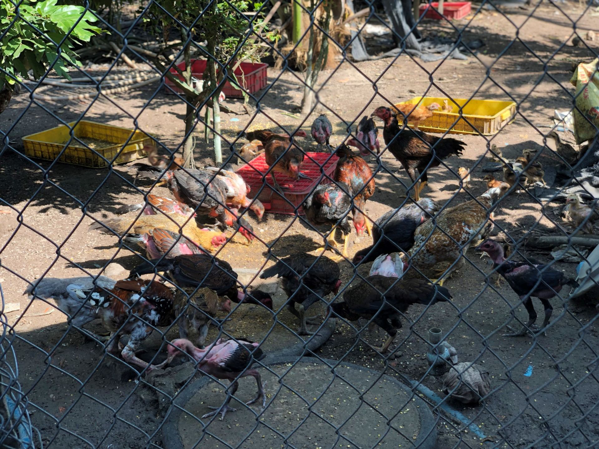Tây Ninh: Nuôi loài ruồi này rồi lấy trứng đem bán giá 3 triệu đồng/100 gram trứng ruồi - Ảnh 3.