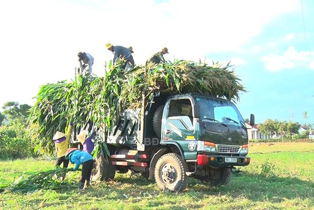 Bình Định: Lạ, trồng bắp chưa kịp ra trái mà đã cắt cả cây bán sạch, tiền thu về nhiều hơn bán hạt - Ảnh 1.