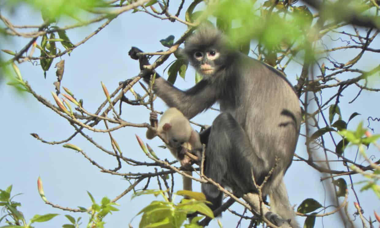 Phát hiện giống voọc chưa từng được biết tới ở Myanmar - Ảnh 1.