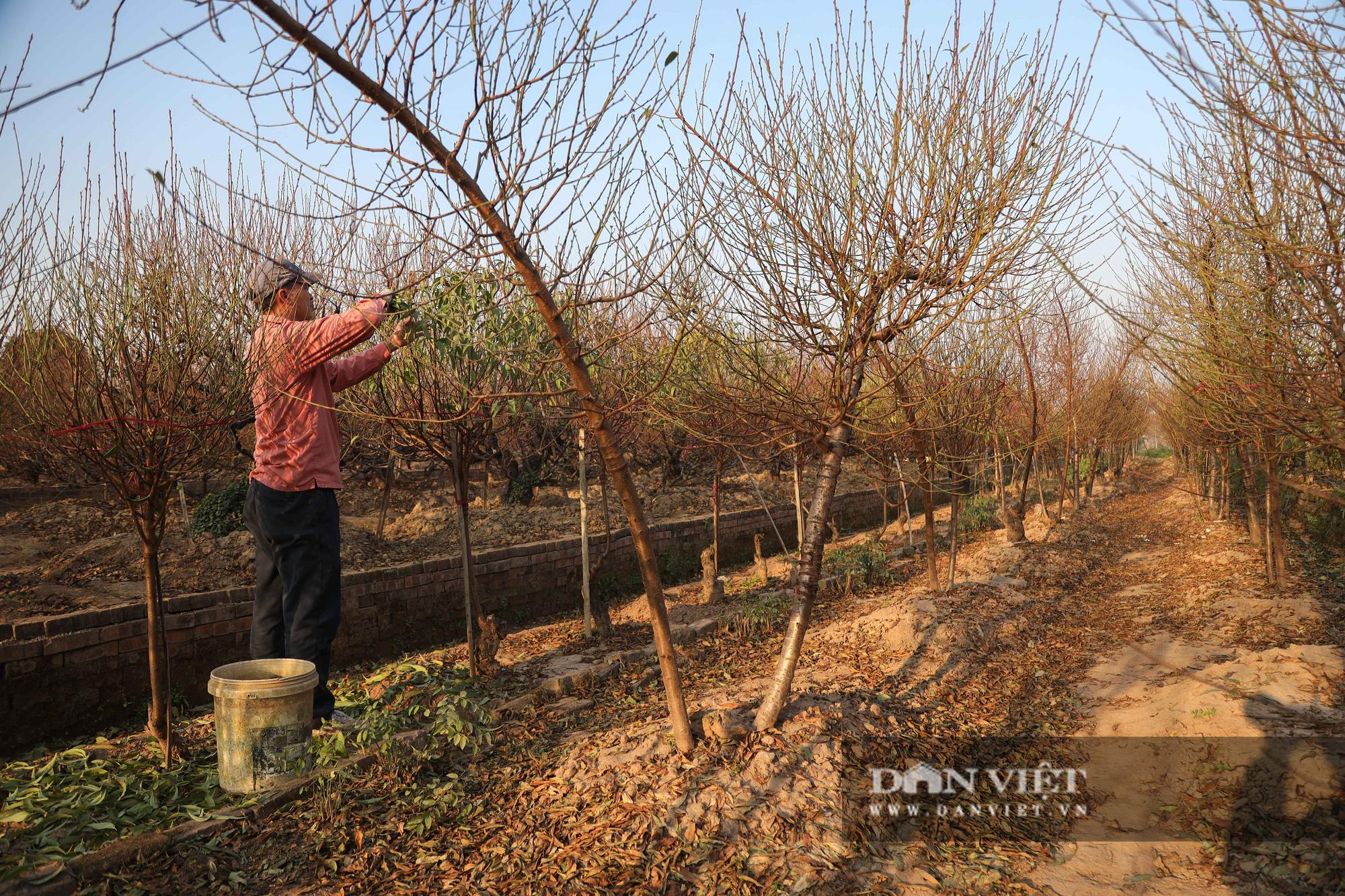 Người Hà Nội nô nức chụp ảnh check-in hoa đào từ Tết Dương lịch - Ảnh 6.
