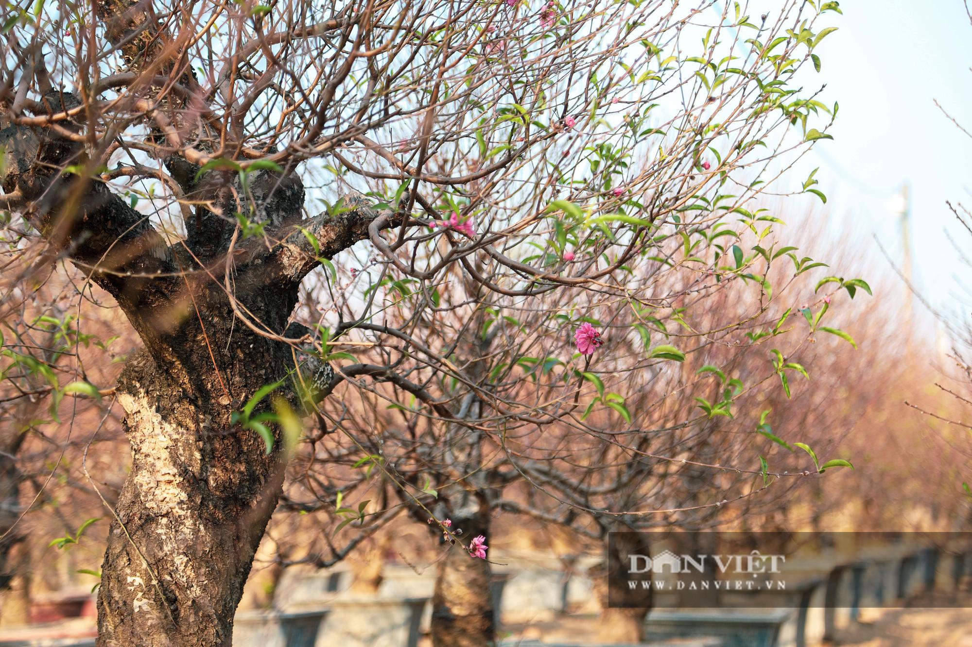Người Hà Nội nô nức chụp ảnh check-in hoa đào từ Tết Dương lịch - Ảnh 9.