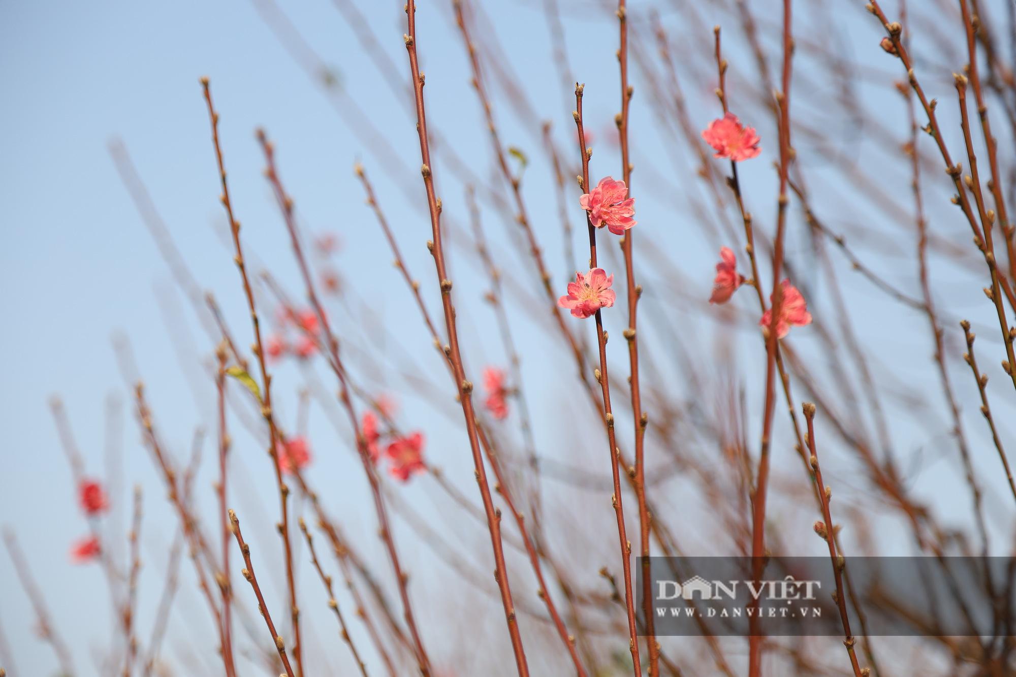 Người Hà Nội nô nức chụp ảnh check-in hoa đào từ Tết Dương lịch - Ảnh 10.