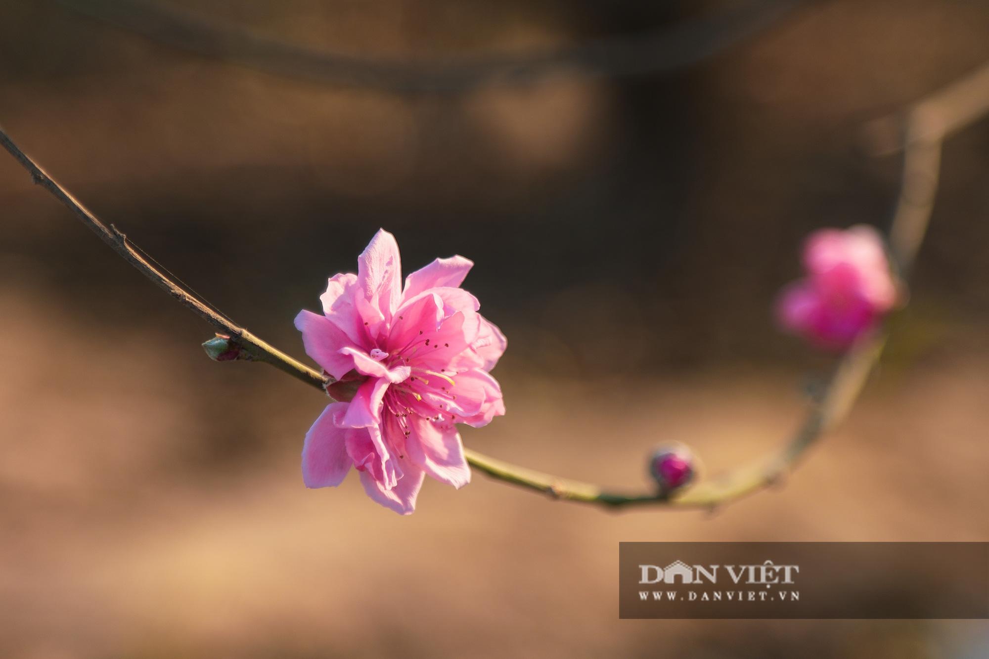 Người Hà Nội nô nức chụp ảnh check-in hoa đào từ Tết Dương lịch - Ảnh 11.
