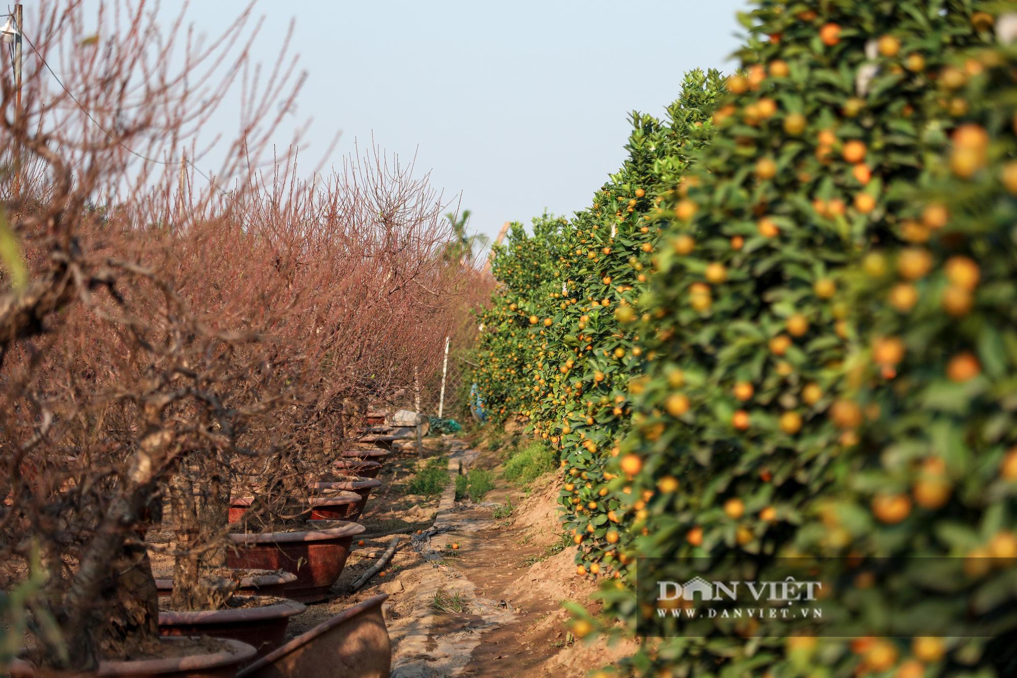 Người Hà Nội nô nức chụp ảnh check-in hoa đào từ Tết Dương lịch - Ảnh 12.