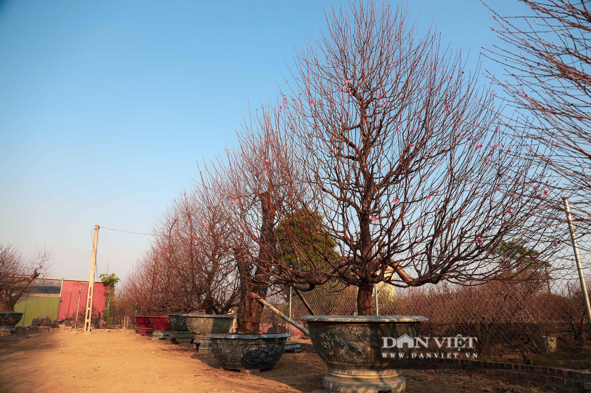 Người Hà Nội nô nức chụp ảnh check-in hoa đào từ Tết Dương lịch - Ảnh 13.