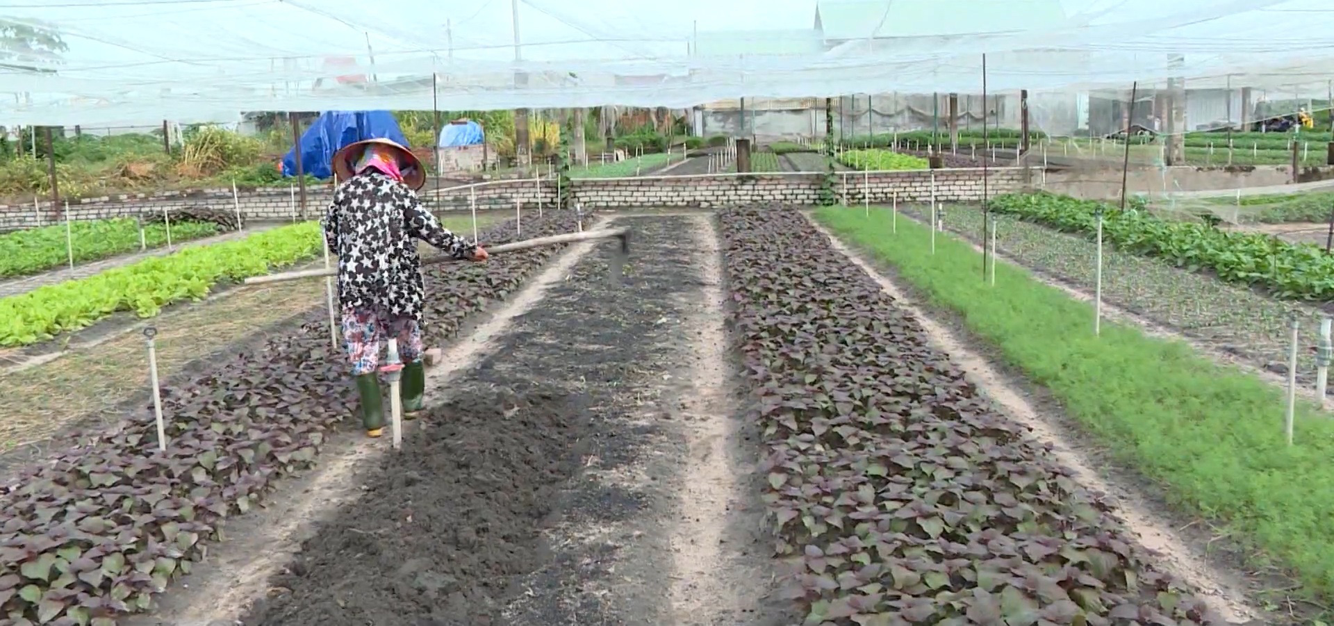 Đồng Nai: Nông dân tập trung chăm sóc rau quả phục vụ tết Nguyên đán 2021 - Ảnh 2.