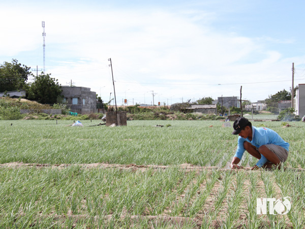 Ninh Thuận: Giá bán đang cao chót vót, dân ở đây phấn khởi trồng loài cây này bán Tết - Ảnh 1.