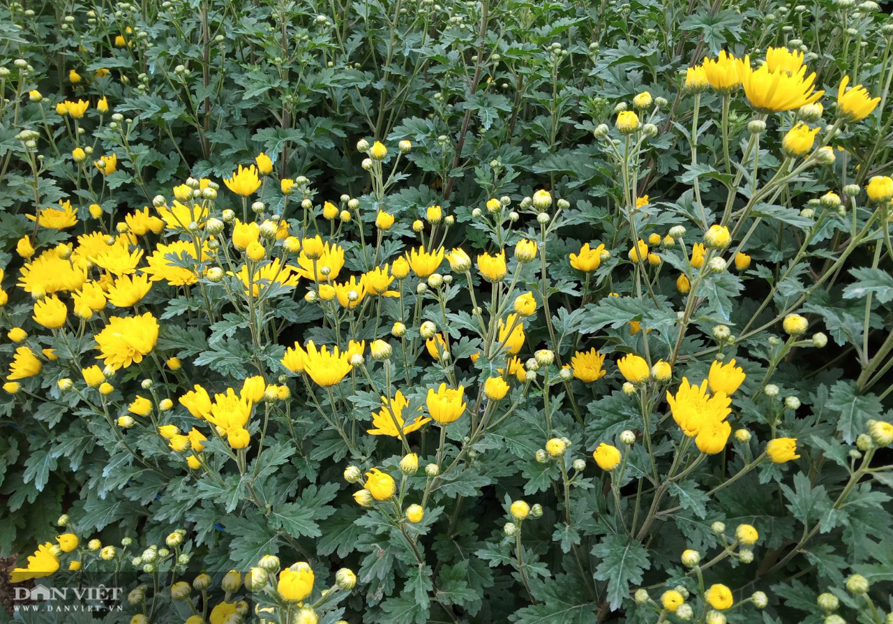 Lão nông bỏ túi trăm triệu từ mô hình trồng hoa xuân - Ảnh 5.