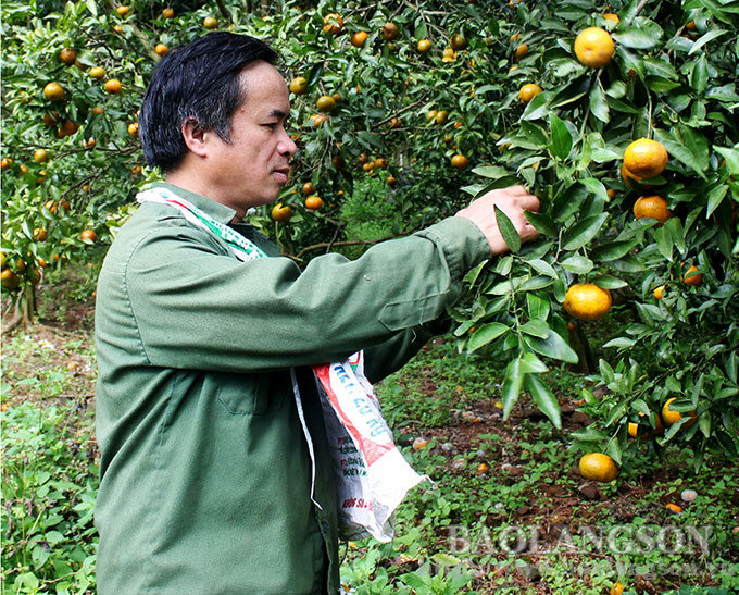 Lạng Sơn: Cây quýt đặc sản Bắc Sơn ra quả sai đột biến, ăn nửa chua nửa ngọt là mắc bệnh gì? - Ảnh 1.