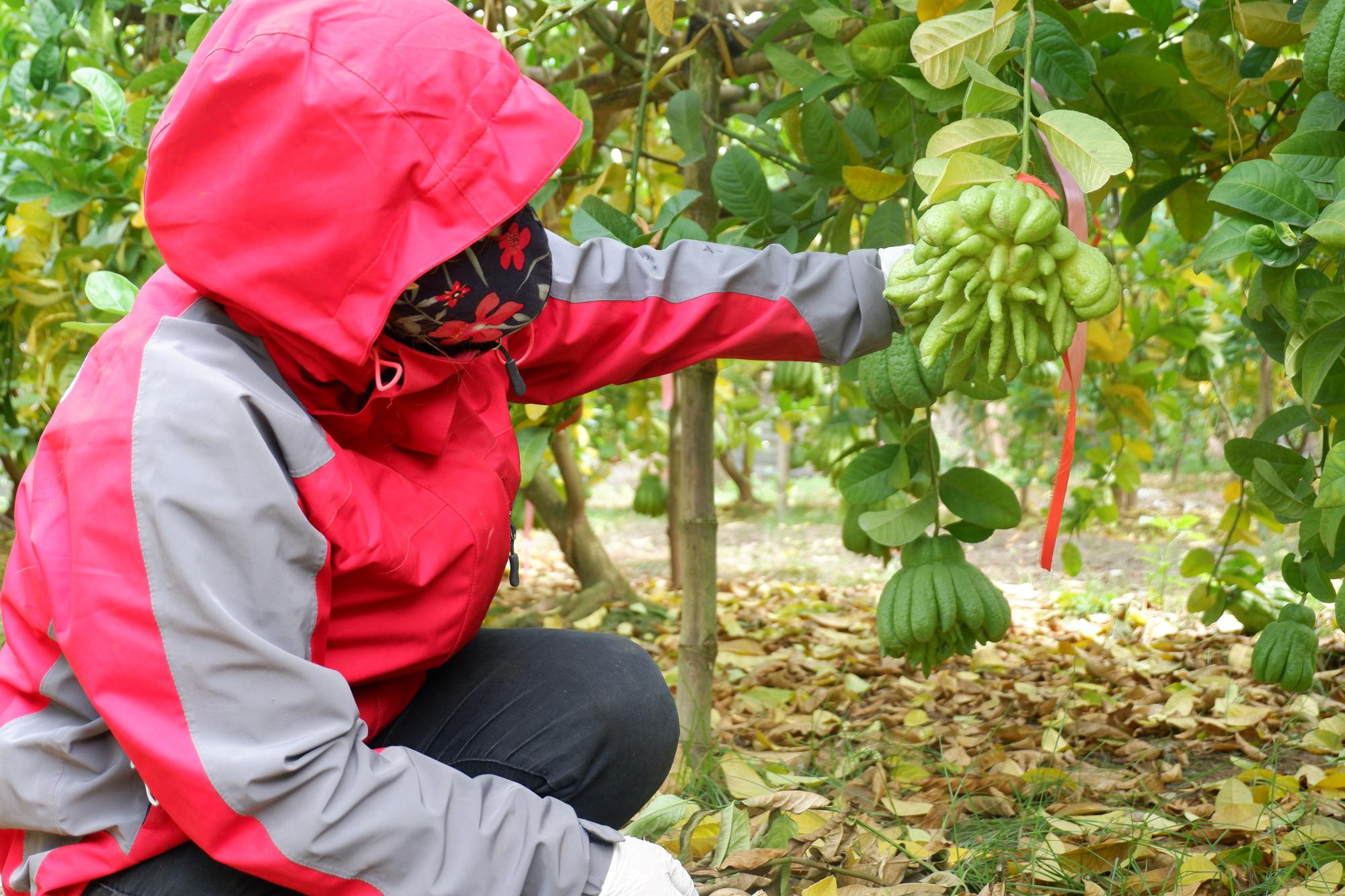 Hà Nội: Phật thủ được giá, bán 100.000 đồng/quả, nhiều nhà vườn ở Đắc Sở thu tiền tỷ - Ảnh 3.