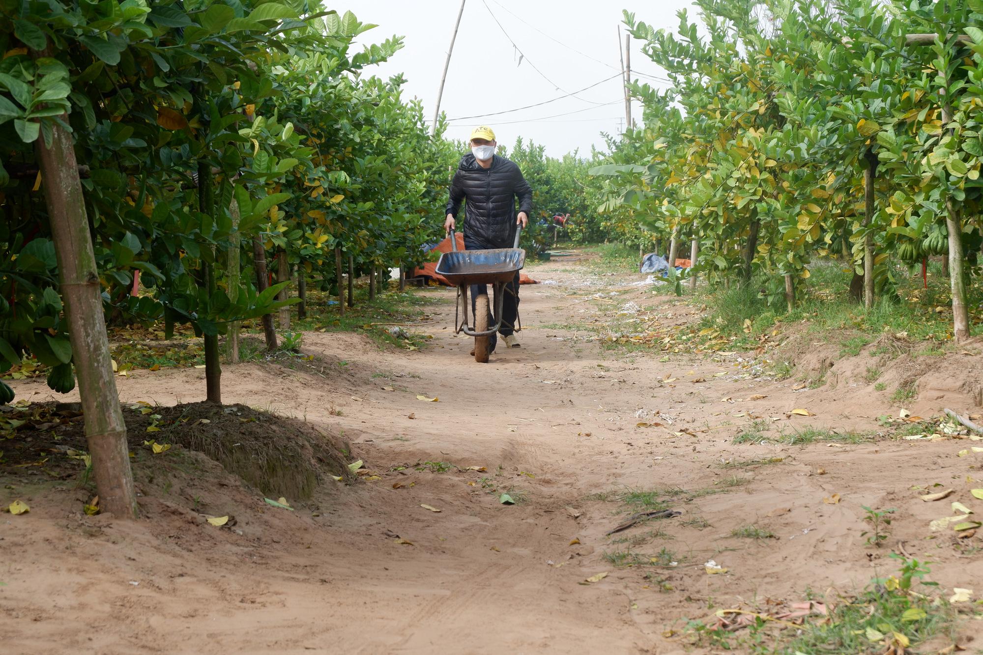 Hà Nội: Phật thủ được giá, bán 100.000 đồng/quả, nhiều nhà vườn ở Đắc Sở thu tiền tỷ - Ảnh 4.