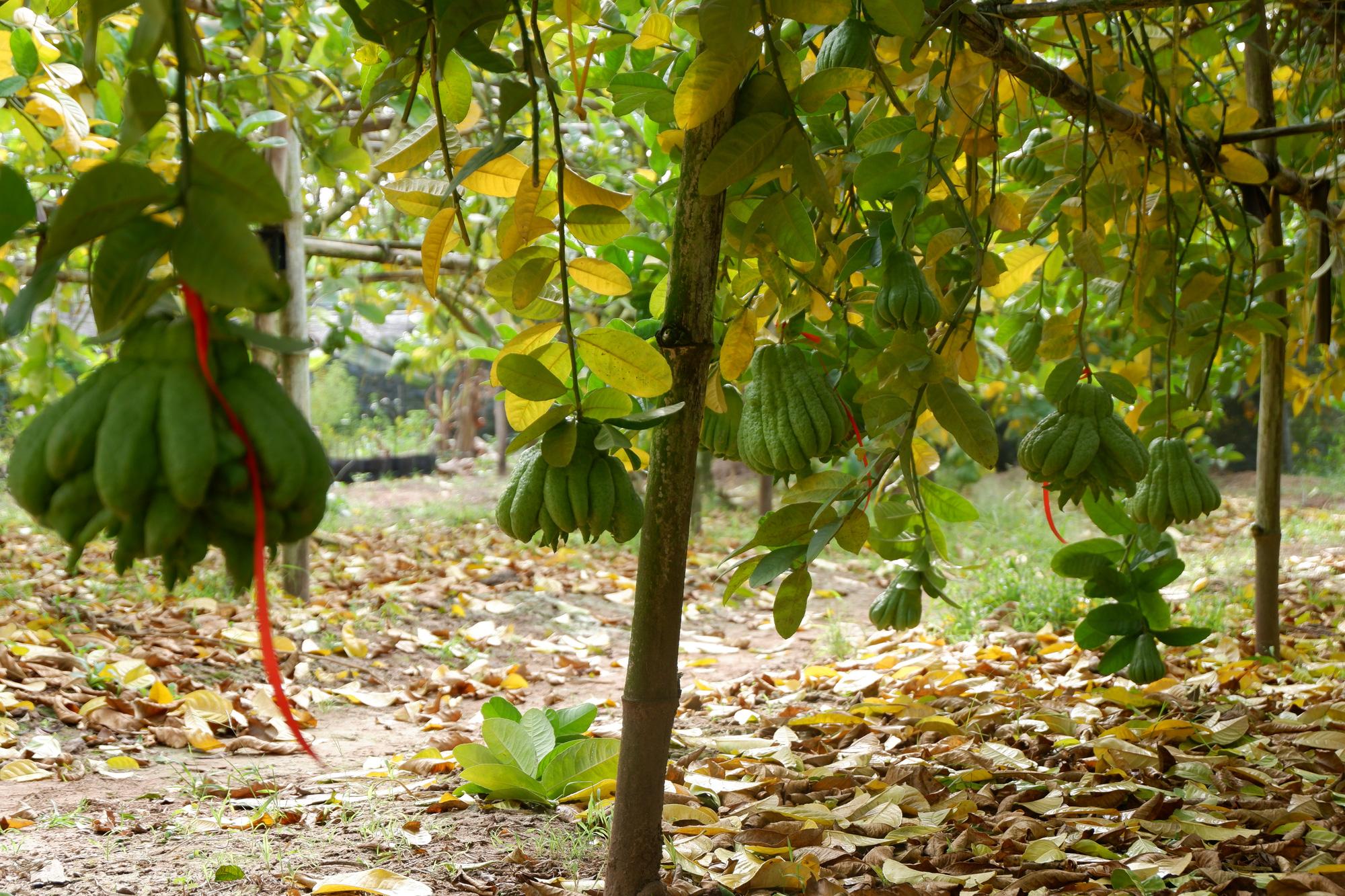 Hà Nội: Phật thủ được giá, bán 100.000 đồng/quả, nhiều nhà vườn ở Đắc Sở thu tiền tỷ - Ảnh 7.