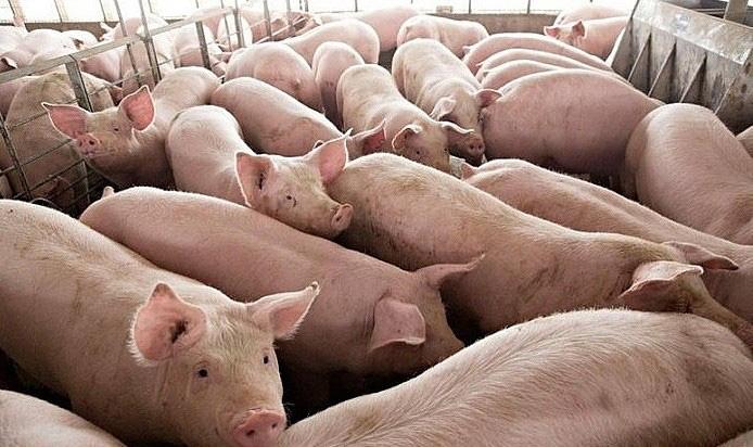 Đề nghị lập chuyên án điều tra về xuất lậu lợn sang Trung Quốc - Ảnh 1.