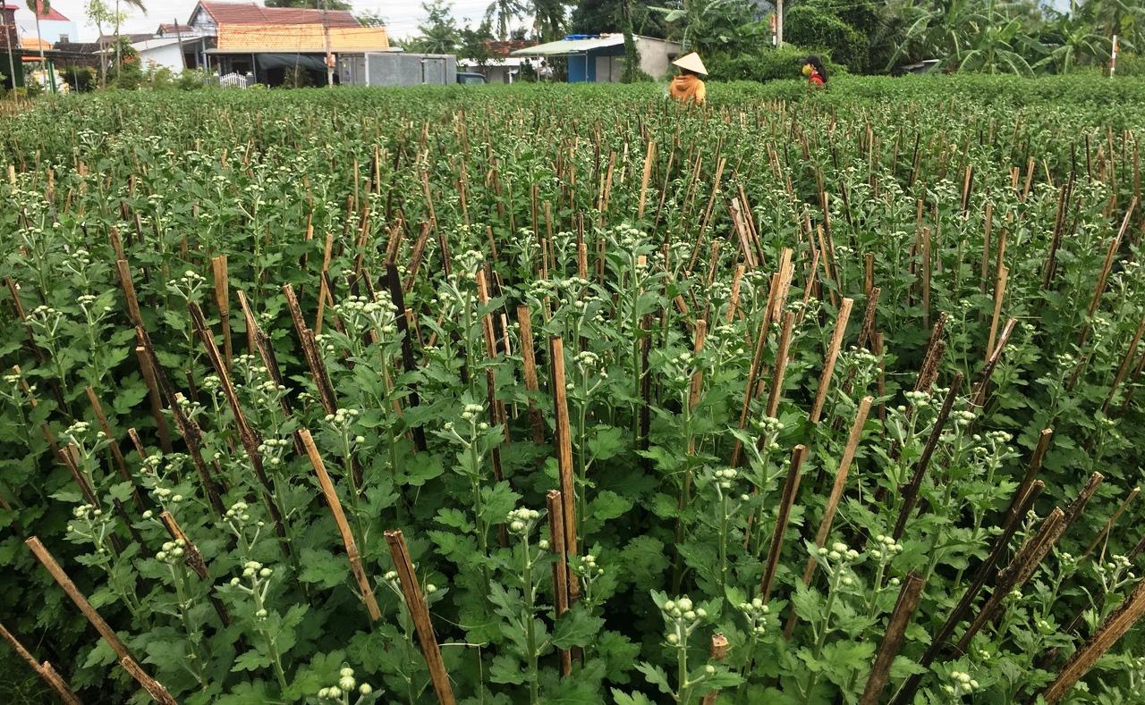 Nhiều vườn hoa cúc đẹp ở Khánh Hòa lại vắng bóng người mua - Ảnh 4.