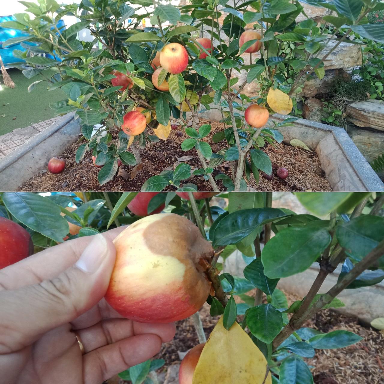 Bà Rịa-Vũng Tàu: Cảnh báo thủ đoạn bán cây cảnh rởm, mua cây táo trái ra quá trời và cái kết sững sờ - Ảnh 1.