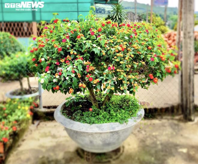 Gia Lai: Đem loài hoa dại ven đường về hóa trang thành cây cảnh chưng Tết, nông dân đút túi tiền triệu - Ảnh 3.