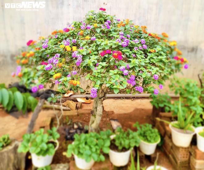 Gia Lai: Đem loài hoa dại ven đường về hóa trang thành cây cảnh chưng Tết, nông dân đút túi tiền triệu - Ảnh 10.