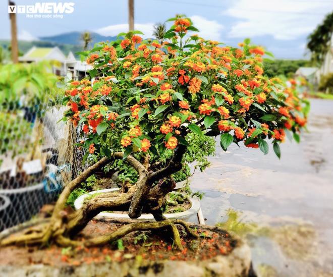 Gia Lai: Đem loài hoa dại ven đường về hóa trang thành cây cảnh chưng Tết, nông dân đút túi tiền triệu - Ảnh 2.