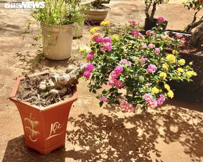 Gia Lai: Đem loài hoa dại ven đường về hóa trang thành cây cảnh chưng Tết, nông dân đút túi tiền triệu - Ảnh 6.