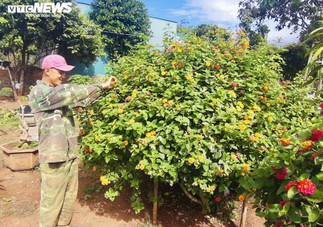 Gia Lai: Đem loài hoa dại ven đường về hóa trang thành cây cảnh chưng Tết, nông dân đút túi tiền triệu - Ảnh 8.