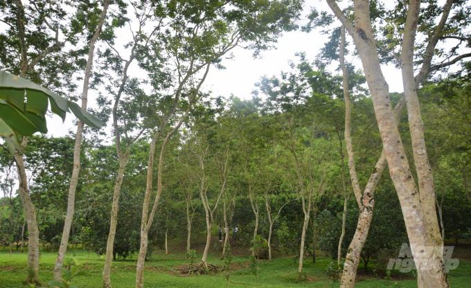 Tuyên Quang: Bất ngờ thành tỷ phú, giàu nhất vùng nhờ khổ công trồng 5.000 cây sưa 20 năm trước - Ảnh 3.
