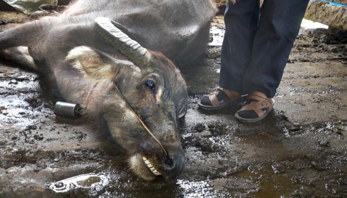 Yên Bái: 60 gia súc chết rét thiệt hại trên 1 tỷ đồng - Ảnh 1.