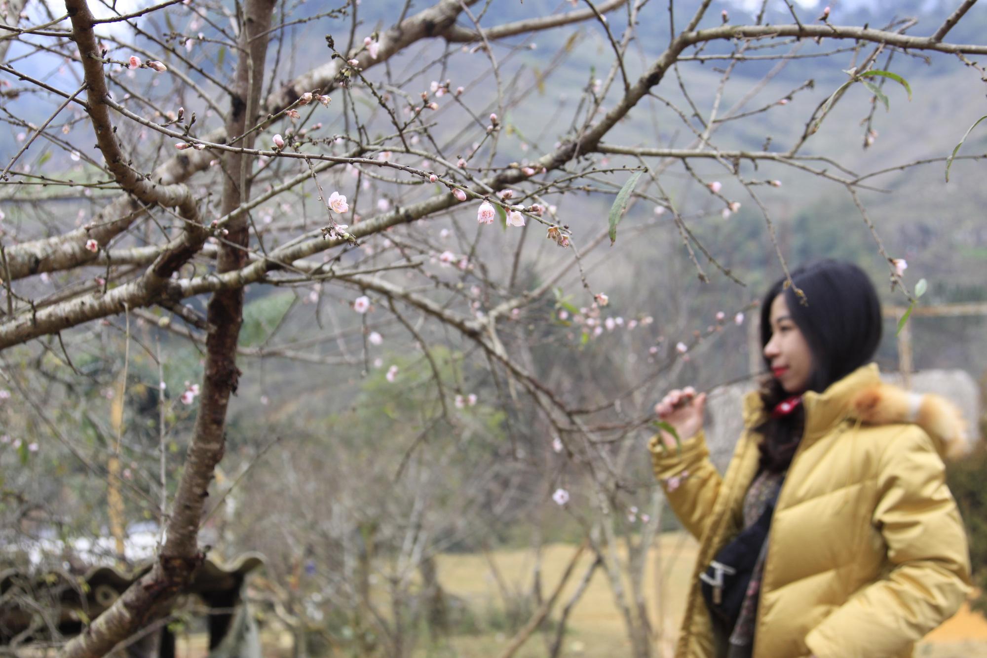 Sơn La: Dán tem cho 5.000 đào rừng dân trồng, phân biệt với đào rừng tự nhiên - Ảnh 1.