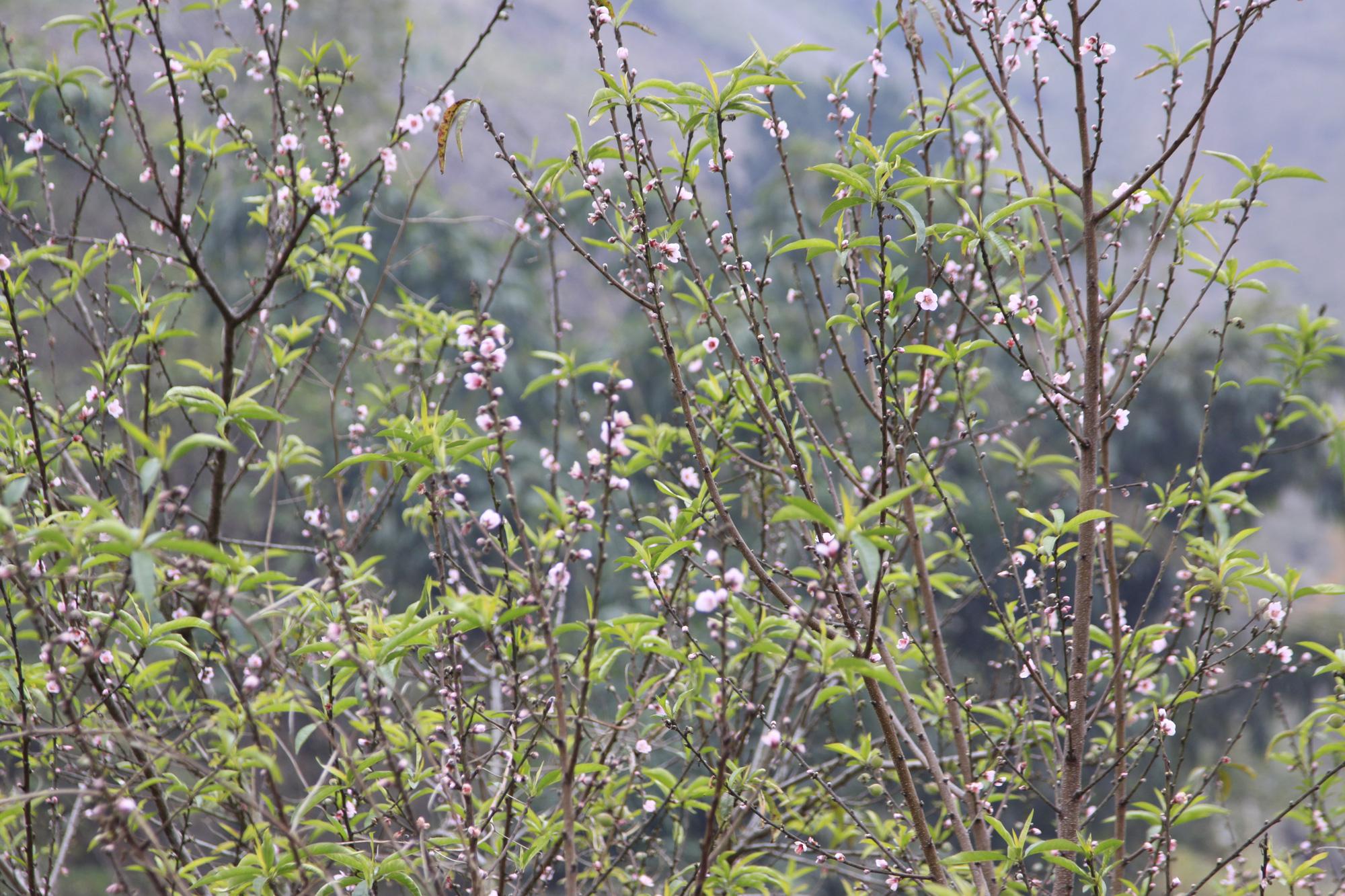Sơn La: Dán tem cho 5.000 đào rừng dân trồng, phân biệt với đào rừng tự nhiên - Ảnh 2.
