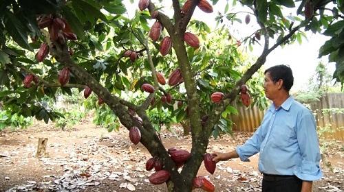 Đồng Nai: Trồng cây ca cao, nhìn đâu cũng thấy trái, dân hái bán cho công ty cứ 1ha lời tới 100 triệu - Ảnh 1.