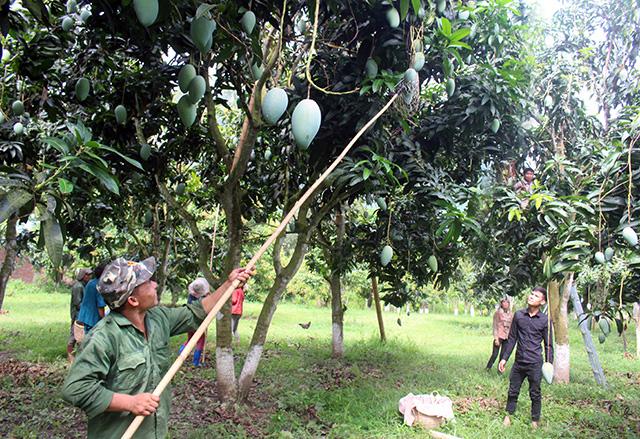 Sơn La: Phát triển cây ăn quả trên đất dốc, hướng đi tốt nhất để huyện vùng cao thoát nghèo - Ảnh 3.