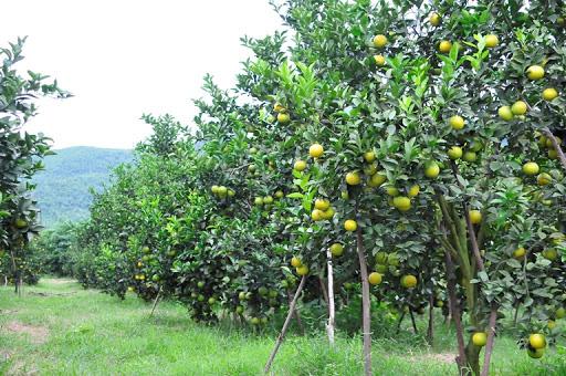 Sơn La: Phát triển cây ăn quả trên đất dốc, hướng đi tốt nhất để huyện vùng cao thoát nghèo - Ảnh 4.