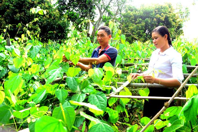 Tuyên Quang: Trồng đủ thứ rau rừng đặc sản, ít phải chăm nom mà hái bán chạy như tôm tươi - Ảnh 1.