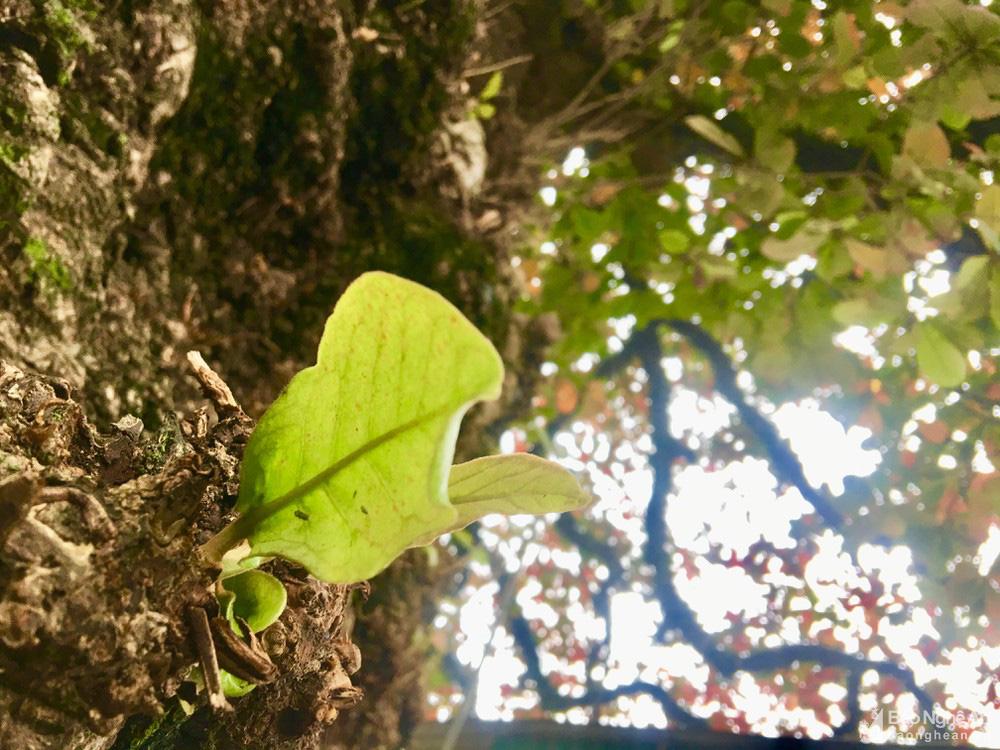 """""""Cụ"""" cây bàng cổ gần 250 tuổi ở Nghệ An, xòe tán rộng 15m chuyển lá màu đỏ, quyến rũ đến lạ kỳ - Ảnh 9."""